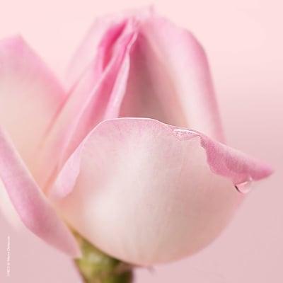 Limpiador Nuxe Paris de Espuma Micellar con Petalos de Rosa 3